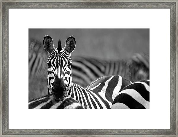 Zebra Framed Print by Wldavies