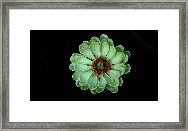 Zinnia Joy Framed Print