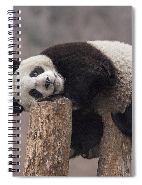 Giant Panda Cub Wolong National Nature Spiral Notebook