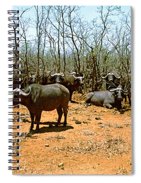Herd Of Cape Buffaloes Syncerus Caffer Spiral Notebook