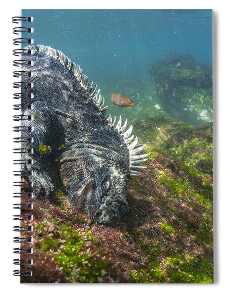 Marine Iguana Feeding On Algae Punta Spiral Notebook