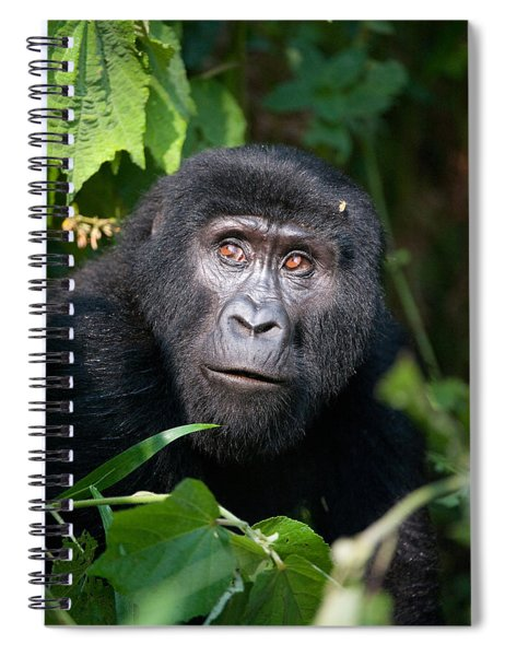 Close-up Of A Mountain Gorilla Gorilla Spiral Notebook