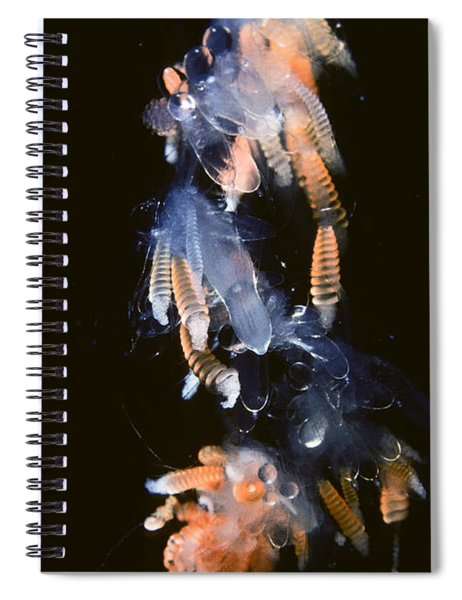 Siphonophore Stephonomia Sp Spiral Notebook