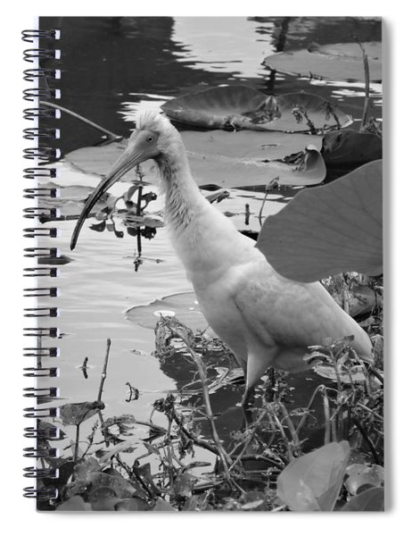 American White Ibis Black And White Spiral Notebook