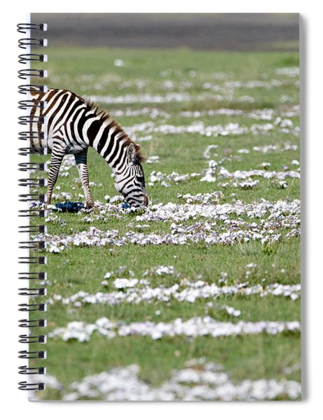 Burchells Zebra Equus Burchelli Grazing Spiral Notebook