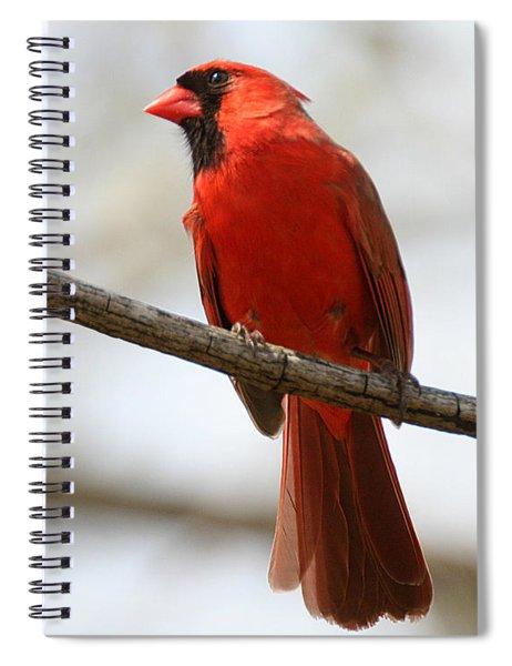 Cardinal On Branch Spiral Notebook