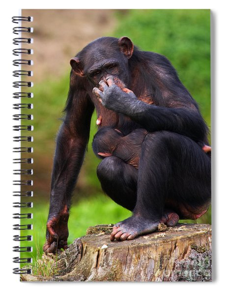 Chimp With A Baby On Her Belly  Spiral Notebook