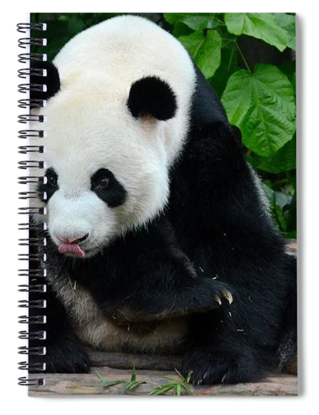 Giant Panda With Tongue Touching Nose At River Safari Zoo Singapore Spiral Notebook