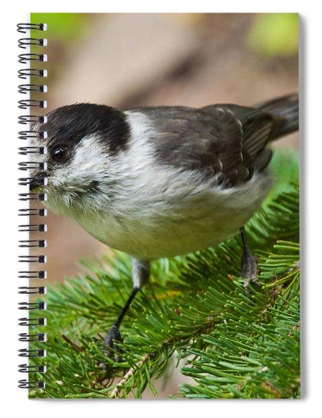 Gray Jay On Fir Tree Spiral Notebook