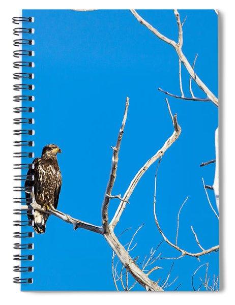 Immature Bald Eagle Spiral Notebook