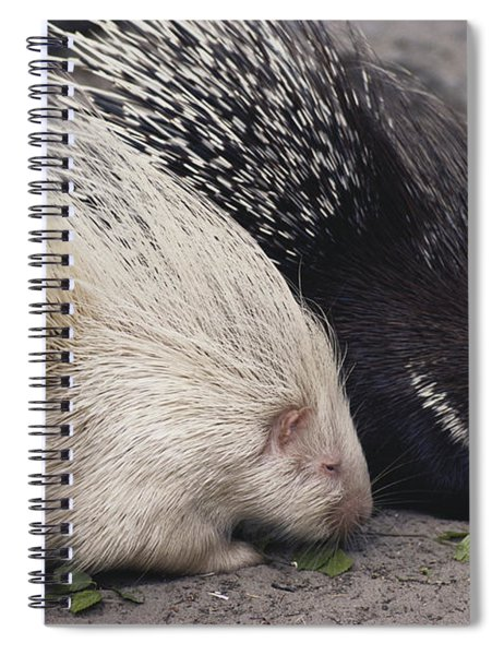 Indian-crested Porcupines Normal Spiral Notebook