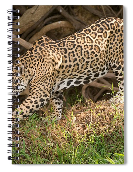 Jaguar Panthera Onca Foraging Spiral Notebook