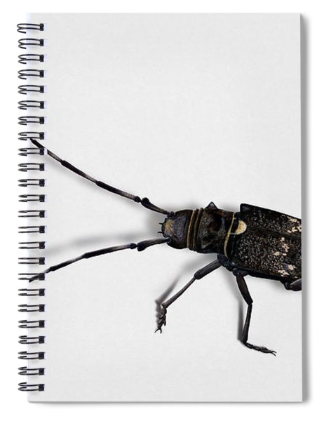 Long-hornded Wood Boring Beetle Monochamus Sartor - Coleoptere Monochame Tailleur - Spiral Notebook