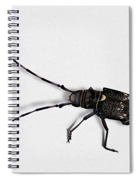 Long-hornded Wood Boring Beetle Monochamus Sartor - Coleoptere Monochame Tailleur - Spiral Notebook