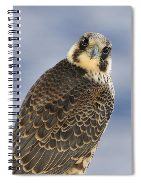 Peregrine Falcon Looking At You Spiral Notebook
