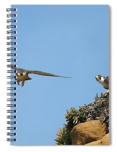 Peregrine Falcons - 1 Spiral Notebook