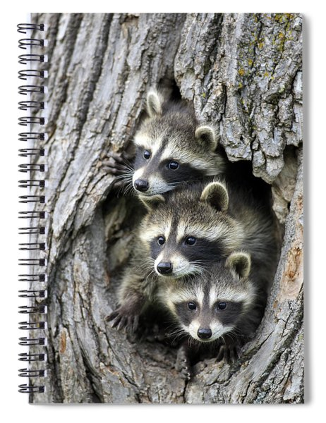 Raccoon Trio At Den Minnesota Spiral Notebook by Jurgen and Christine Sohns