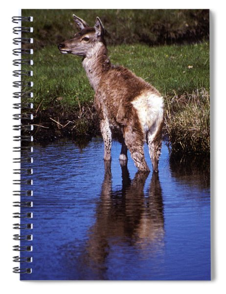 Red Deer Hind Cooling Off Spiral Notebook