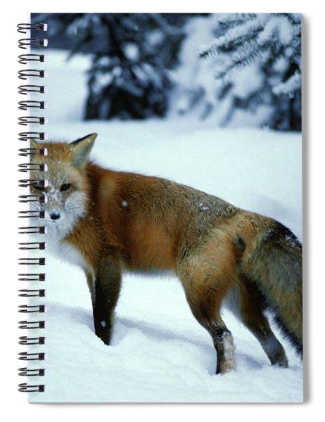 Red Fox Vulpes Vulpes In Winter Snow Spiral Notebook