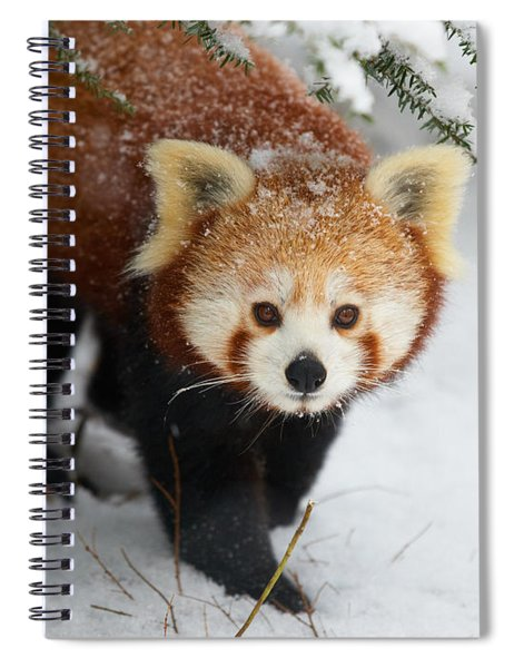 Red Panda In The Snow Spiral Notebook