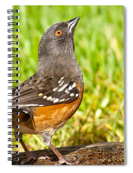 Spotted Towhee Looking Up Spiral Notebook