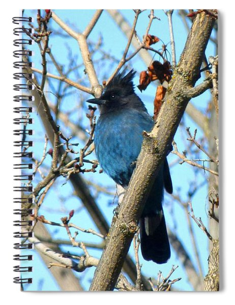 Steller's Jay In Winter Spiral Notebook