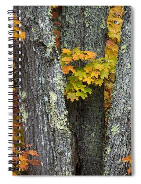 Sugar Maple In Autumn Spiral Notebook