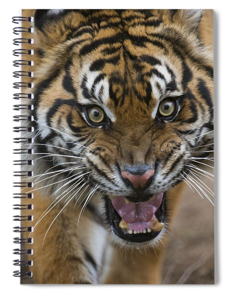 Sumatran Tiger Male Snarling Native Spiral Notebook
