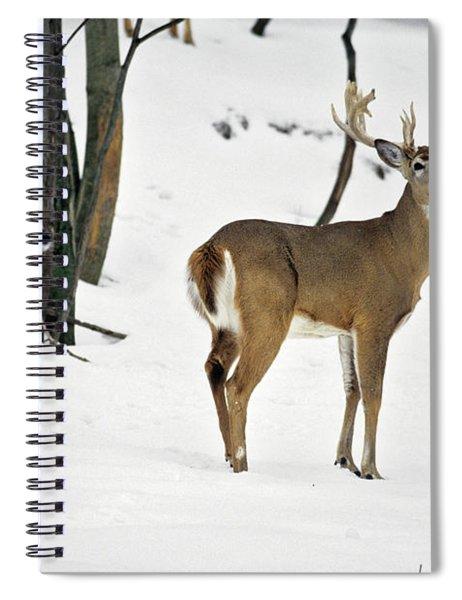 Whitetail Deer In Snow Odocoileus Spiral Notebook
