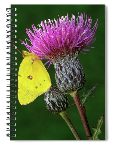 Yellow Sulfur Butterfly On Thistle Spiral Notebook