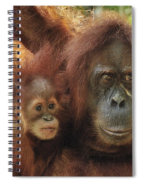 Sumatran Orangutan Pongo Abelii Mother Spiral Notebook