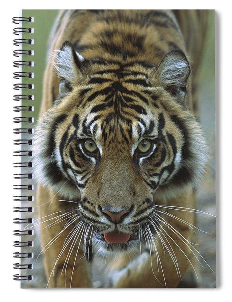 Sumatran Tiger Panthera Tigris Sumatrae Spiral Notebook