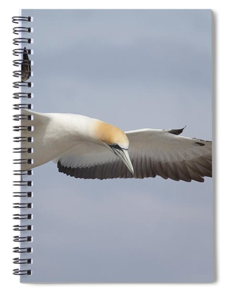 Australasian Gannet In Flight Spiral Notebook