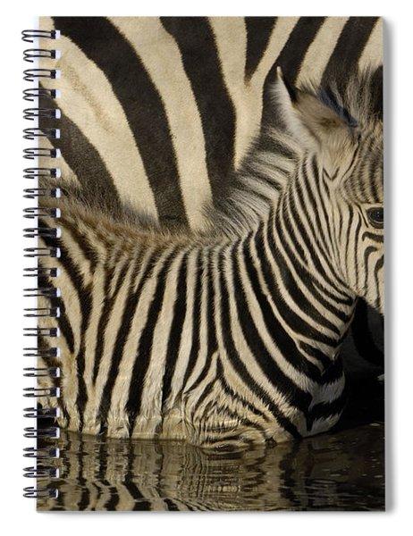 Burchells Zebra Equus Burchellii Foal Spiral Notebook