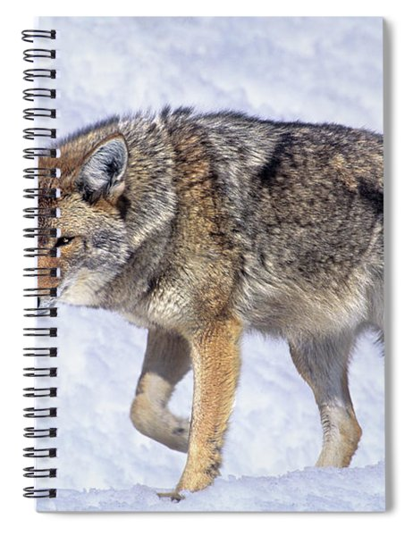 Coyote Canis Latrans Wild California Spiral Notebook