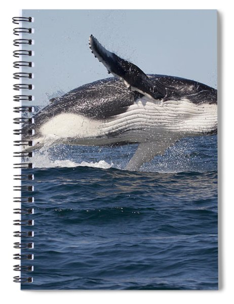Humpback Whale Calf Breaching Spiral Notebook