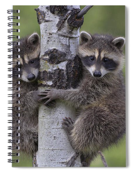 Raccoon Two Babies Climbing Tree North Spiral Notebook