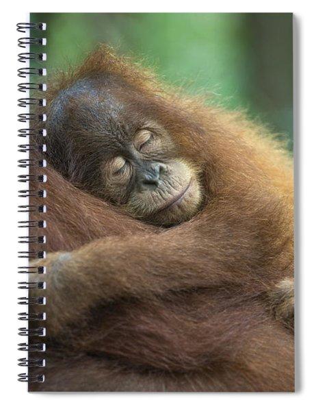 Sumatran Orangutan Pongo Abelii Two Spiral Notebook