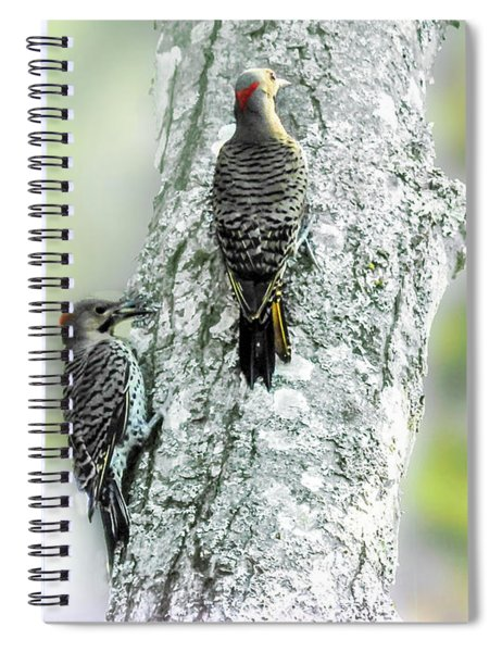 Adult And A Young Northern Flicker. Spiral Notebook
