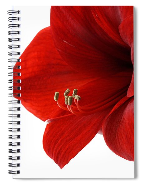 Amaryllis On White 3 Spiral Notebook