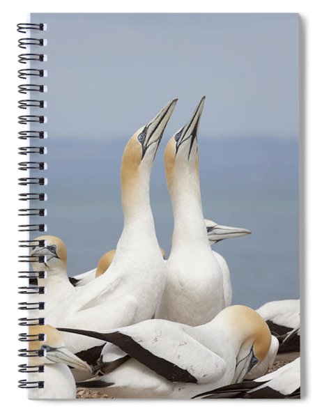 Australasian Gannets Courting Spiral Notebook