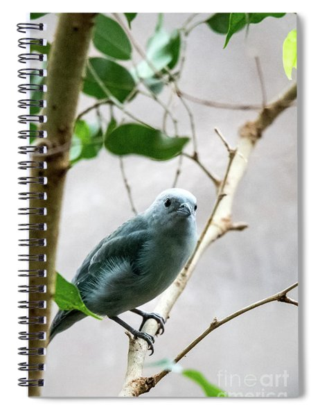 Blue-grey Tanager 2 Spiral Notebook