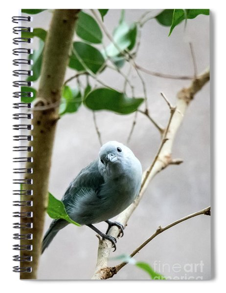 Blue-grey Tanager Spiral Notebook