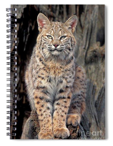 Bobcat Felis Rufus Captive Spiral Notebook