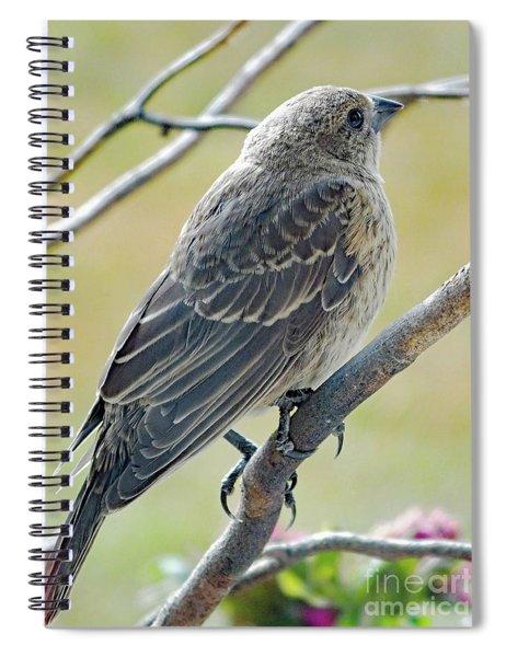 Brown Beauty - Immature Cowbird Spiral Notebook