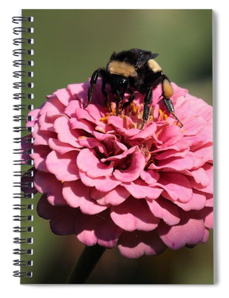 Bumble Bee On Zinnia 2649 Spiral Notebook
