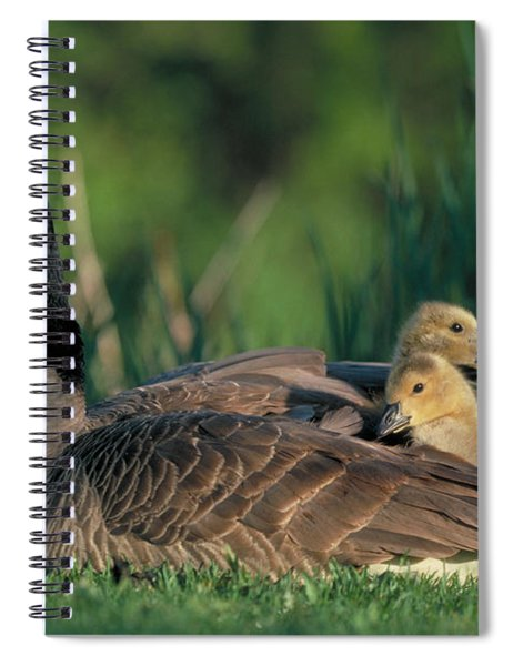 Canada Goose With Goslings Spiral Notebook