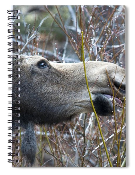 Cow Moose Dining On Willow Spiral Notebook