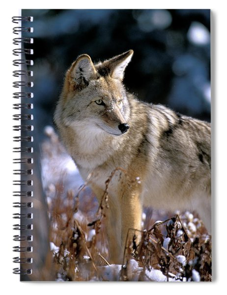 Coyote In Winter Light Spiral Notebook