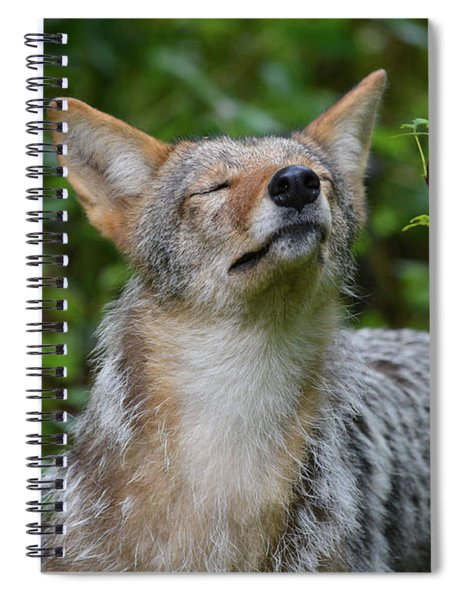 Coyote Soaking Up The Morning Sun Spiral Notebook